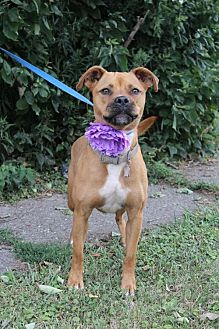 Boxer Mix Dog for adoption in Lorain, Ohio - Storm