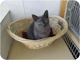 Domestic Shorthair Cat for adoption in Pascoag, Rhode Island - Smokey II