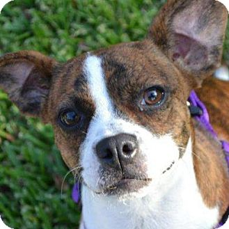 boston terrier and beagle mix annie adopted dog weatherford tx beagle boston 3899