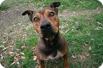Shar Pei/Shepherd (Unknown Type) Mix Dog for adoption in san antonio, Texas - Izzy