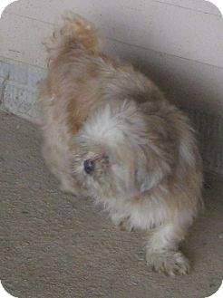 Shih Tzu/Pekingese Mix Dog for adoption in Prole, Iowa - Billy