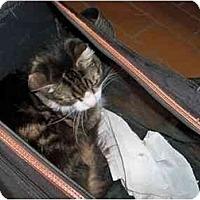 Adopt A Pet :: Silky - Secaucus, NJ