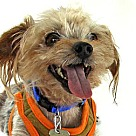 Adopt A Pet :: Rascal the Yorkie