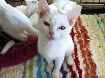 Burmese Cat for adoption in Cerritos, California - Porsche