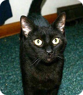 Domestic Shorthair Cat for adoption in Columbus, Ohio - Momma Gump