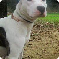 American Staffordshire Terrier/Bulldog Mix Dog for adoption in Darien, Georgia - Noelia