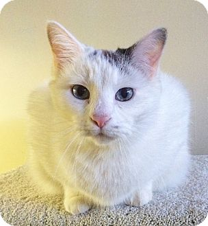 Domestic Shorthair Cat for adoption in St. Louis, Missouri - Scarborough