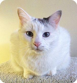 Domestic Shorthair Cat for adoption in St. Louis, Missouri - Scarborough