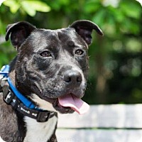 Adopt A Pet :: Hercules Mulligan - Brooklyn, NY