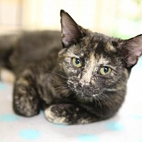 Domestic Shorthair Kitten for adoption in Olive Branch, Mississippi - Marlee