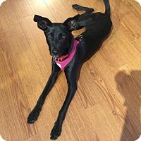 Adopt A Pet :: Koko - Vancouver, BC