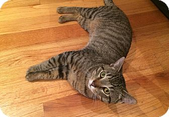 Domestic Shorthair Cat for adoption in Chicago, Illinois - Oscar