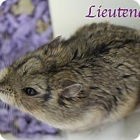 Hamster for adoption in Bradenton, Florida - Lieutenant