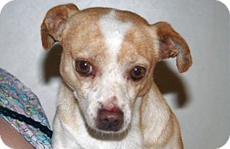 Chihuahua Mix Dog for adoption in Wildomar, California - Mulder