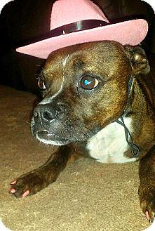 Boston Terrier/Whippet Mix Dog for adoption in Greensboro, North Carolina - Ginger