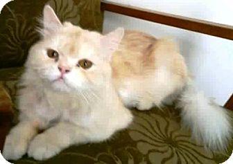 Persian Cat for adoption in York, Pennsylvania - Hulk (Egyptian/Persian)