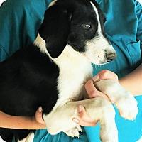 Adopt A Pet :: Gerald - perfect family dog - Pewaukee, WI