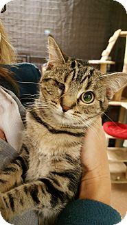 Domestic Shorthair Cat for adoption in Delmont, Pennsylvania - Cheetah