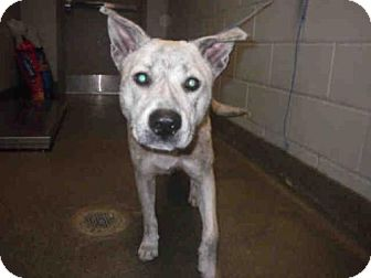 Akita Mix Dog for adoption in Jacksonville, Florida - CALVIN