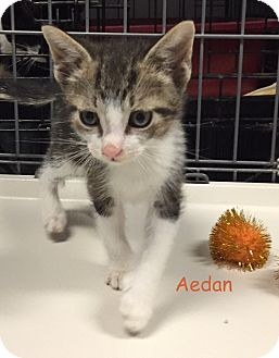 Domestic Shorthair Kitten for adoption in Cliffside Park, New Jersey - AEDAN