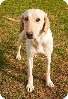 Labrador Retriever Dog for adoption in Rockville, Maryland - Emmy Lou