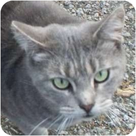 Domestic Shorthair Cat for adoption in Warren, Ohio - Jackie- Pending