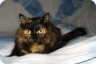 Domestic Longhair Cat for adoption in Oxford, New York - Cinnamon