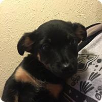 Adopt A Pet :: Brooke - Kempner, TX