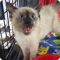 Adopt A Pet :: Pyewacket - St. Louis, MO