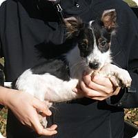 Adopt A Pet :: SCOOTER - adorable - Pewaukee, WI