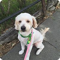 Adopt A Pet :: Harley - Lodi, CA