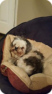 Shih Tzu Dog for adoption in Conway, Arkansas - Candy
