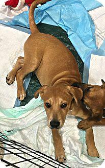 Labrador Retriever/Shepherd (Unknown Type) Mix Puppy for adoption in New Braunfels, Texas - Barry