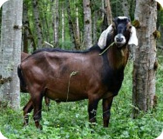 Goat for adoption in Maple Valley, Washington - Gunner