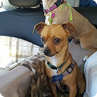 Adopt A Pet :: CornDog - Fountain Valley, CA