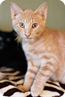 Domestic Shorthair Cat for adoption in Markham, Ontario - Chevis