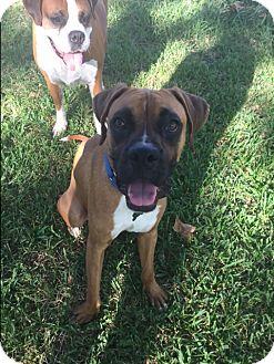 Boxer Dog for adoption in Austin, Texas - JoJo