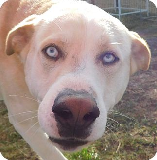Husky/Labrador Retriever Mix Dog for adoption in MINNEAPOLIS, Kansas - Stevie