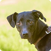 Whippet/Labrador Retriever Mix Dog for adoption in San Diego, California - Freud