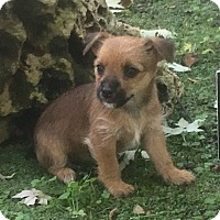 Adopt A Pet :: Brandy - Petersburg, OH