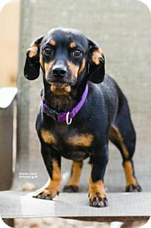 Dachshund Mix Dog for adoption in Gainesville, Florida - Bullwinkle