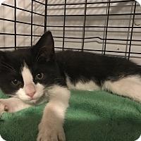 Adopt A Pet :: sansa - millville, NJ