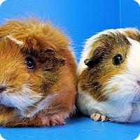 Adopt A Pet :: Carolina and Savannah - Lewisville, TX