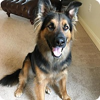 German Shepherd Dog/Collie Mix Dog for adoption in Greensboro, North Carolina - Truman(CL)