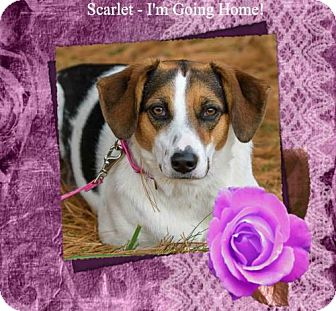 Collie/Beagle Mix Dog for adoption in New Castle, Delaware - Scarlet/ADOPTED!