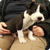 Adopt A Pet :: A027994 - Norman, OK