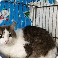 Adopt A Pet :: Princess White, Puma-70 - Windsor, CT