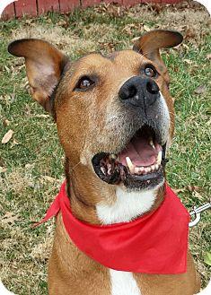 Boxer/Hound (Unknown Type) Mix Dog for adoption in LaGrange, Kentucky - Bones