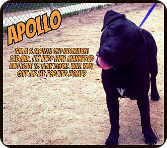 Labrador Retriever Mix Puppy for adoption in Manassas, Virginia - Apollo