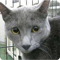 Adopt A Pet :: Blu - Chandler, AZ